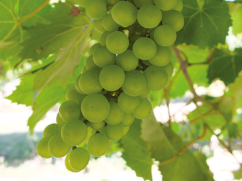77vintido | The cultivation of Prosecco